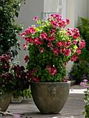 Kübel mit Pelargonium grandiflora 'Candy Flowers Dark Red' rot-schwarz