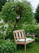 Holzbank vor Salix caprea 'Pendula' (Hängender Kätzchenweide)