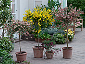 Cytisus 'Maria Burkwood' 'Golden Sunlight' 'Boskoop Ruby' 'Andreanus splendens'