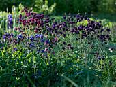 Aquilegia vulgaris plena 'Barlow Mixed' (Gefüllte Akelei)