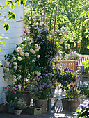 Rosa 'Claire Austin' (Englische Duftrose) öfterblühende Moschatahybride