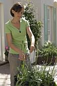 Frau schneidet Samenansätze von Tulipa (Tulpen) ab