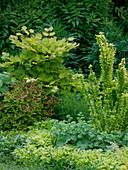 Acer japonicum 'Aureum' (Gold - Ahorn), Spiraea 'Golden Princess'