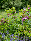 Robinia hispida 'Macrophylla' (Borstige Robinie), Nepeta (Katzenminze)