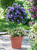 Solanum rantonnetii (Enzianbaum) unterpflanzt mit Verbena Star Dreams