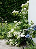 Klappstuhl neben Hydrangea petiolaris (Kletterhortensie)