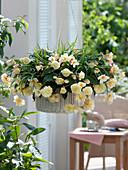 Begonia Hybride 'Champagner' (Hänge - Begonie) in Korbampel