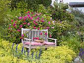 Rosa gallica officinalis (Apothekerrose), historisch, einmalblühend, duftend