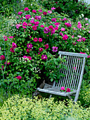 Rosa gallica officinalis (Apothekerrose), historisch, einmalblühend