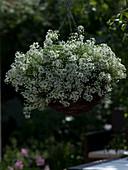 Lobularia 'Snow Princess' syn. Alyssum (Duftsteinrich) in Korbampel