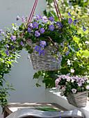 Geranium 'Rozanne' (Storchenschnabel) als Ampelpflanze in Korb