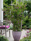 Rosa 'Veilchenblau' (Rose), stachellose, einmalblühende Ramblerrose