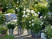 weiße Terrasse : Lilium longiflorum 'Gelria' (Trompetenlilien), Solanum