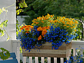 Balkonkasten aus Holz mit Tagetes patula und tenuifolia (Studentenblumen)