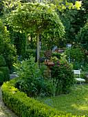 Catalpa bignoides 'Nana' (Kugel - Trompetenbaum), Buxus (Buchs - Hecke)