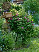 Rosa 'Rose de Resht' (Damascena - Rose), Calibrachoa (Zauberglöckchen)