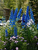 Delphinium elatum 'Royal Aspirations' (Rittersporn), Lavatera 'Barnsley'