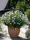 Argyranthemum frutescens 'Stella 2000' (Margerite) in Terracotta - Kübel