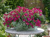 Petunia x Calibrachoa Supercal 'Neon Rose' (Zauberglöckchen), Helichrysum