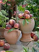 Pfirsiche (Prunus persica) in Terracotta-Vasen