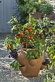 Lycopersicon 'Miniboy' (Mini - Tomate), Ocimum