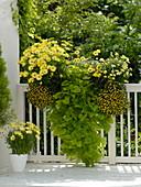 Osteospermum Springstar 'Yellow' (Kapkörbchen), Ipomoea batata 'Gelb'