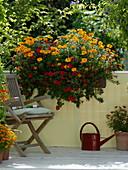 Tagetes Gloriette 'Deep Orange' und tenuifolia (Studentenblumen), Petunia