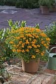 Tagetes tenuifolia 'Orange Gem' (Würz-Tagetes)