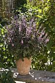 Ocimum kilimandscharicum x basilikum Purpurascens 'African Blue'