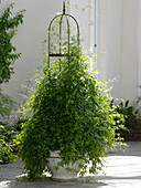 Gynostemma pentaphyllum (Jiaogulan, Unsterblichkeitspflanze),