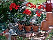 Jungpflanzen von Pelargonium zonale (Stehenden Geranien) in Tontöpfen