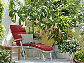 Datura 'Pink Favourite' und arborea (Engelstrompeten), Solanum rantonnetii