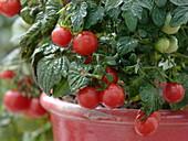 Lycopersicon 'balcony star' (bush tomato)