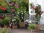 Mandevilla splendens mit großen rosa Blüten, Mandevilla Sundaville