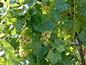 Vitis vinifera 'Palatina' (Weintrauben), pilztolerante Sorte