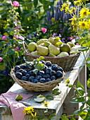 Frisch geerntete Zwetschgen und Birnen in Körben auf Bank