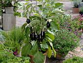 Mini - Aubergine 'Picola' (Solanum melongena) in Terracotta - Kübel
