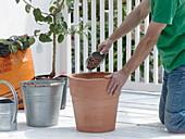 Birnbaum in Terracotta - Kübel umpflanzen 1/4