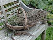 Frisch geernteter Beifuß (Artemisia vulgaris)
