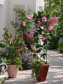 Mandevilla splendens (Dipladenie) mit großen rosa Blüten
