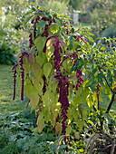 Amaranthus 'Pony Tails Red' (Fuchsschwanz)