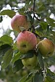 Apfel 'James Grieve' (Malus)