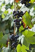 Weintraube 'Muscat Bleu' (Vitis vinifera)