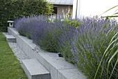 Blühendes Lavendel - Beet in Betoneinfassung