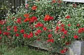 Steintrog rot-weiß bepflanzt mit Sommerblumen