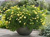 Osteospermum 'Big Yellow' (Kapkörbchen, Kapmargerite)