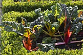 Swiss chard 'Bright Lights' (Beta vulgaris) in the cottage garden