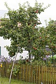 Apfelbaum (Malus) mit starkem Ast abgestützt