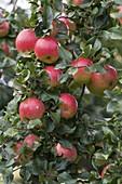 Resistente Apfelsorte 'Florina' (Malus)