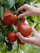 Frau pflückt Tomate 'Fourstar f1' syn. 'Ochsenherz' syn. 'Oxheart'